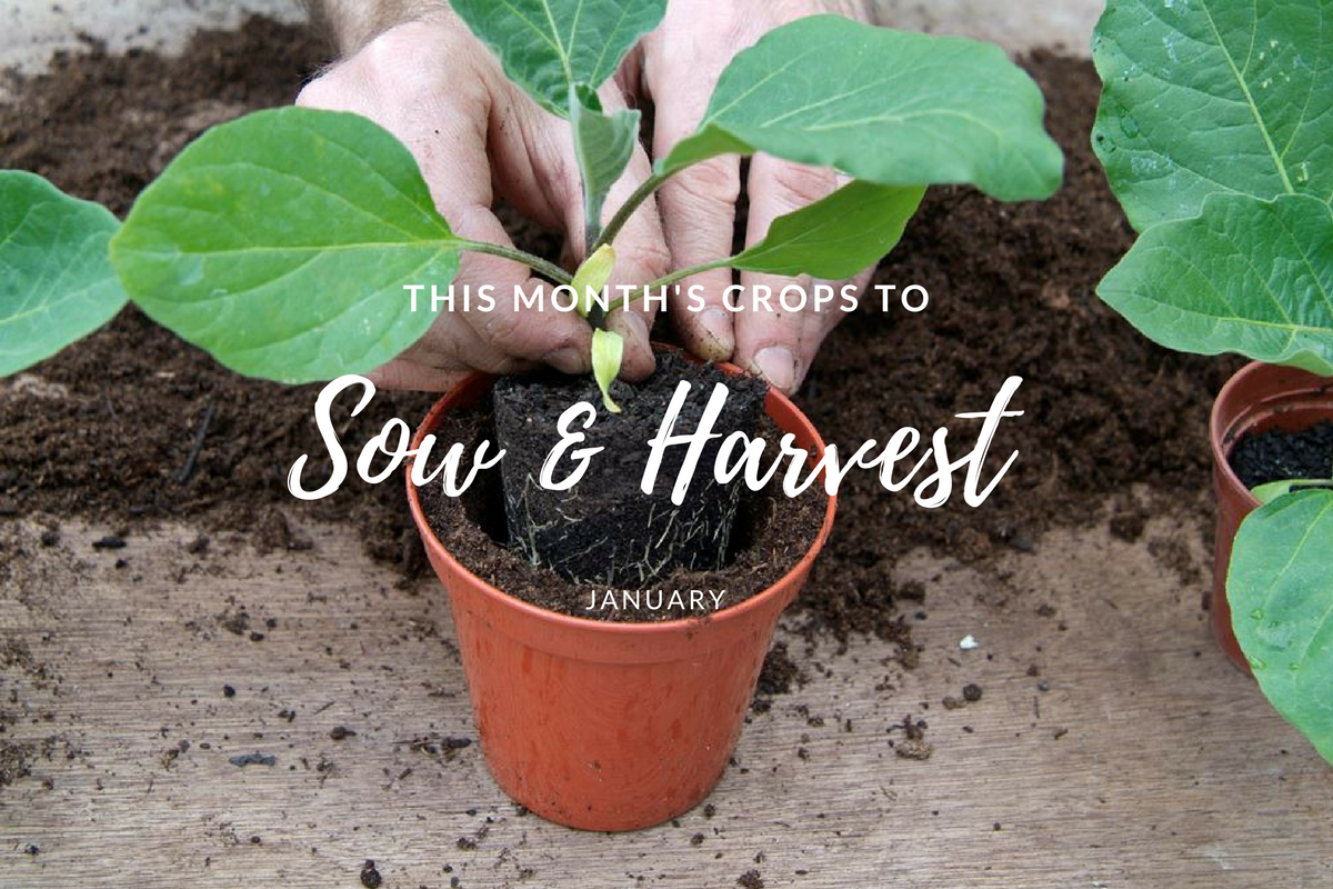 This month's crops to sow and harvest (January).