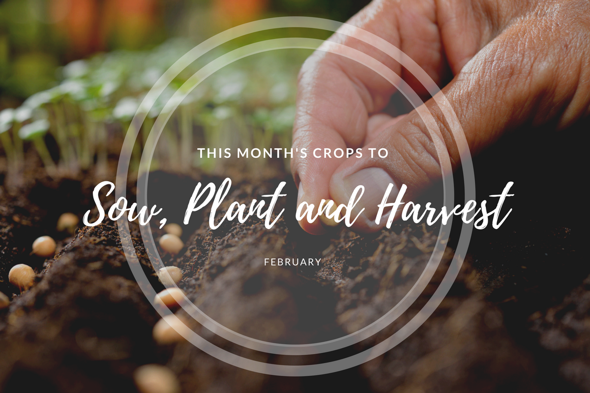 This month's crops to sow and harvest (February).