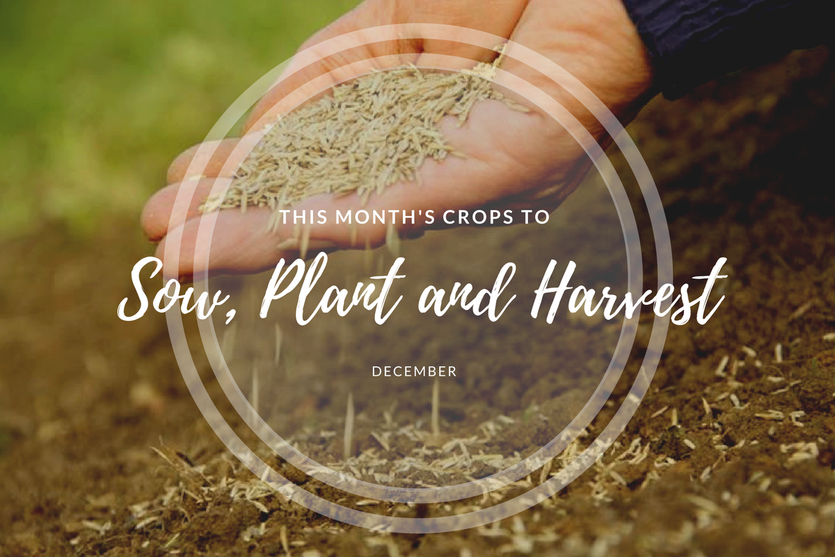 This month's crops to sow and harvest (December).