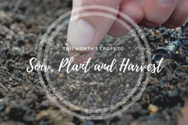 This month's crops to sow and harvest (November).