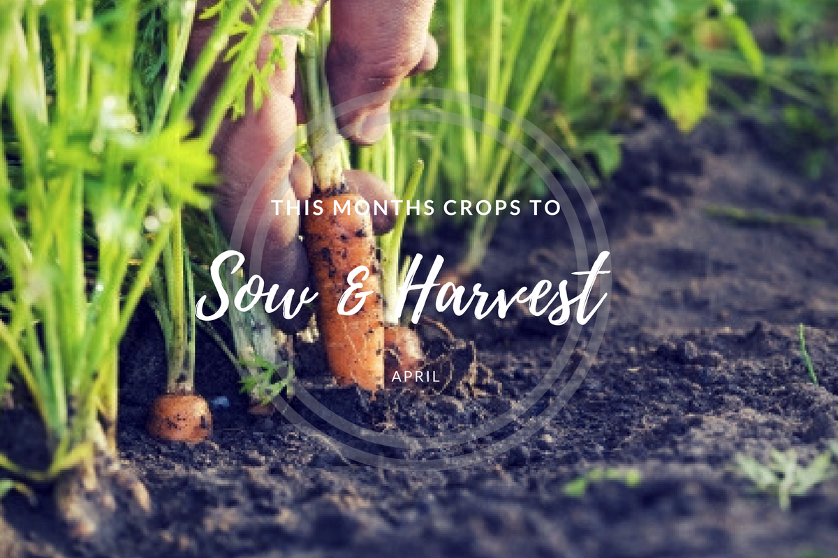 This month's crops to sow and harvest (April).