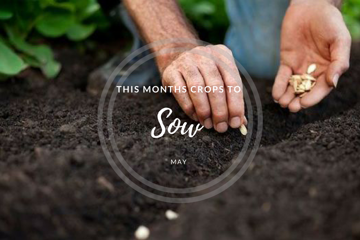 This month's crops to sow (May).