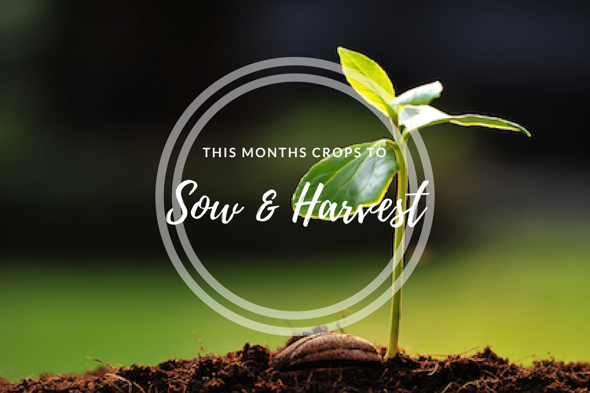 This month's crops to sow (June).